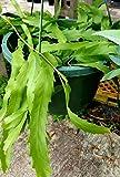 "Lepismium houletianum, Orchid Cactus, rhipsalis, Epiphyllum, Like Christmas Cactus, Rare Succulent Plant, 3"" Pot Size"