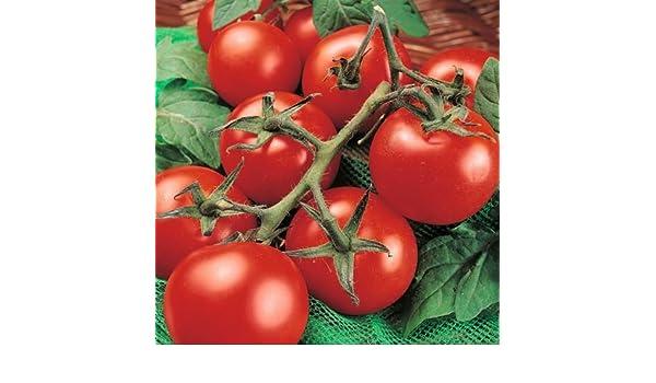 Moneymaker Prolific /& Reliable 50ct Tomato Seed Non-Gmo Heirloom Tomato Seeds