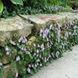 Outsidepride Kenilworth Ivy Ground Cover Plant Seed - 4000 Seeds