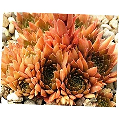 ABELYN Plant Zone 3 to 9 Ready Bronze PasteSempervivum - Hen and Chick Hardy Plant Succulent - EB274 : Garden & Outdoor