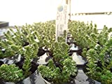 Sedum Sexangulare 1 Rooted Plant 3inch Succulents Stonecrop Rooted Healthy