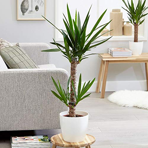 AMERICAN PLANT EXCHANGE Yucca Elephantipes Spineless Live Plant, 1 Gallon, Clean Air of Toxins