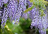 Chinese Wisteria Vine Seeds, 10 Pack - Wisteria