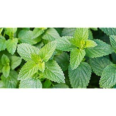 AchmadAnam - 2, 000 Seeds - Catnip Seeds Perennial Herb Catmint Herb Seeds. E1 : Garden & Outdoor