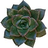 Echeveria purpusorum Rose A.Berger (4 inch)