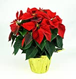 #2: Poinsettia Plant - Red (6