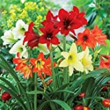 Amaryllis Lilly Flower Bulbs (Pack of 5) By Gate Garden