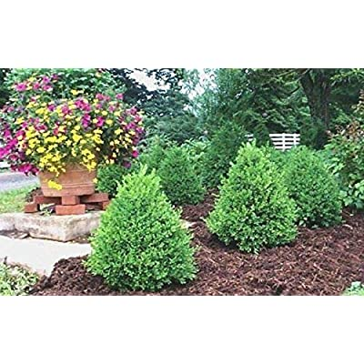 Live Plants - Lot of 10 Shrubs in Quart Pots - Green Mountain Boxwood : Garden & Outdoor