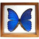 Real Giant Blue Morpho Butterfly Framed and Mounted in Brown Shadowbox Display