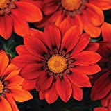 Outsidepride Gazania Red Shades - 100 Seeds
