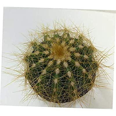 TEE 1 Bare Root Cactus Plant. The Small Balloon Cactus is a Spherical Shaped Plant - RK69 : Garden & Outdoor