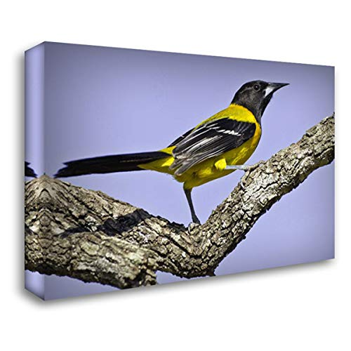 Texas, Santa Clara Ranch Audubon Oriole on Limb 38x27 Gallery Wrapped Stretched Canvas Art by Lord, Fred (Audubon Large Ranch)
