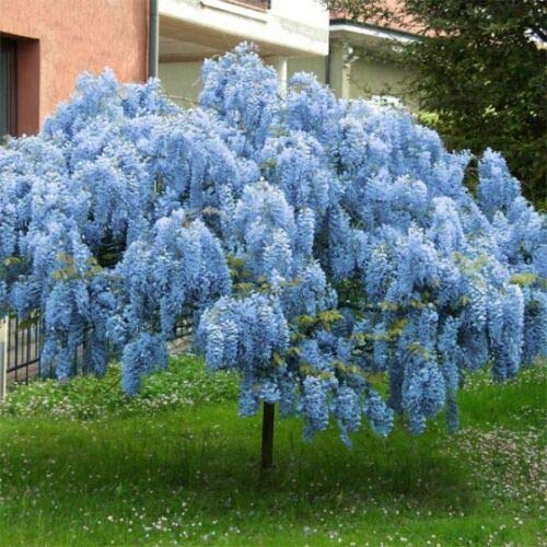 Spring 2019 Stunning Live 1 Potted Chinese Blue Weeping Wisteria Tree + Bonus #ptps0008