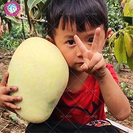 2 pcs ngGaint semillas de mango, semillas de árbol de mango raras, semillas de árboles bonsai, semillas alimentos orgánicos, frutas herencia olla de Mango para la siembra jardín