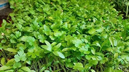Creative Farmer Vegetable Seeds Dhana Dhania Seeds Coriander Micro Green Seeds Herb Plant Home Garden Seeds Amazon In Garden Outdoors