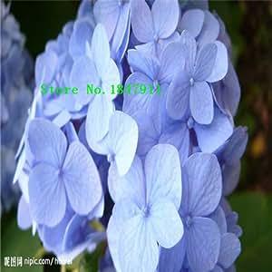 Gran venta 100pcs / semillas de hortensia de carga, balcón en maceta, la siembra es simple, en ciernes tasa de 95%, la absorción de la radiación, color mezclado