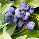 100 European Blueberry Seeds Bilberry Low Bush Rare Sweet Vaccinium