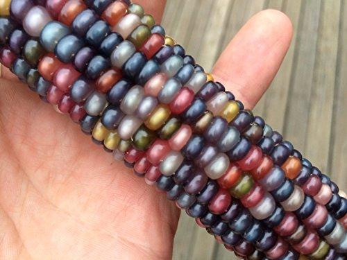 Glass Gem Cherokee Indian Corn Heirloom Premium 50 Seed Packet + More