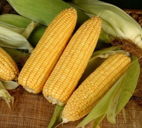 Golden Queen Hybrid Sweet (su) Corn Maize Garden Vegetable Treated Seeds
