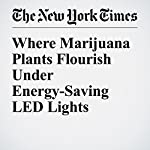 Where Marijuana Plants Flourish Under Energy-Saving LED Lights   Diane Cardwell