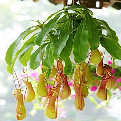 Nepenthes Seeds Potted Flower Potted Flower Bonsai Carnivorous Plants Home Garden Yard Nepenthes Seeds ()