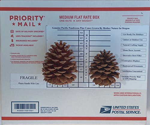 20 New Pinecone 3 to 4 Inch Tall Grown On Oregon Pacific Ponderosa Pine Trees by Mother Nature