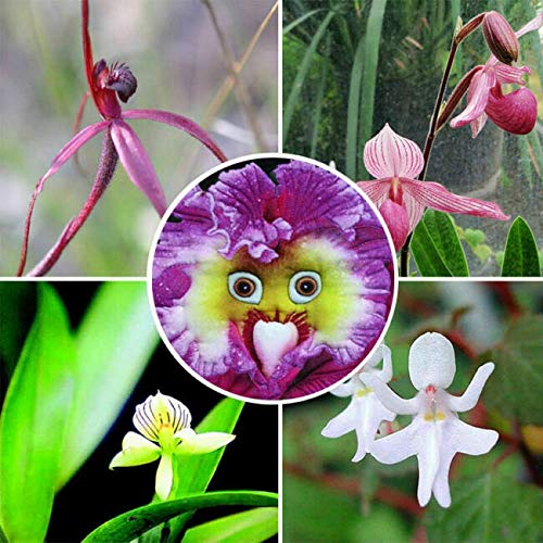 100Pcs Baby Face Orchid Perennial Flower Seeds Professional Decor - Ship from US by US Seller.