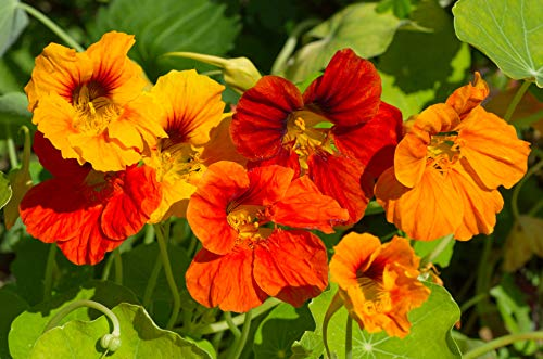 Sweet Yards Seed Co. Nasturtium Seeds - Mixed Colors - Extra Large Packet - Over 200 Open Pollinated Non-GMO Flower Seeds - Tropaeolum majus