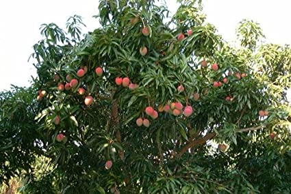 SA Nursery Live Grafted Chengavarkai Mango Tree Plant (1 - 2