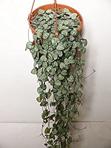Large ceropegia woodii string of hearts 16cm hanging for Chaine de coeur plante entretien