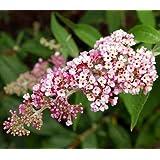 "InSpired TM Pink Butterfly Bush - Buddleia - Proven Winners - 4"" Pot"
