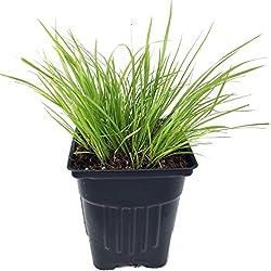 Golden Dwarf Sweet Flag Plant - Acorus - Terrarium/Fairy Garden/Rockgarden