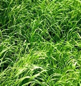(Annual Ryegrass Seed (Gulf, Diploid) - 5 Pound - Wizard Seed LLC)