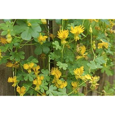 Nasturtium Canary 'Climbing Yellow' (Tropaeolum Peregrinum) Flower Plant Seeds, Annual Heirloom : Garden & Outdoor