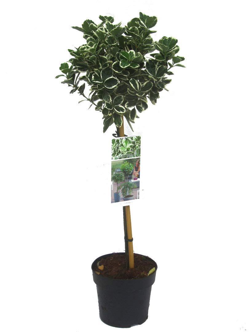 immergr/üne K/übelpflanze H/öhe 85 cm St/ämmchen Euonymus Jap Kathy winterharte 19 cm Topf