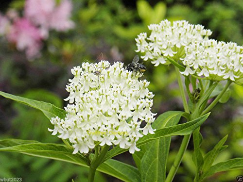 White Butterfly Weed (50 Seeds) Attracts Bees And butterflies