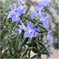Package of 100 Seeds, Rosemary Herb (Rosemarinus officinalis) Non-GMO Seeds by Seed Needs