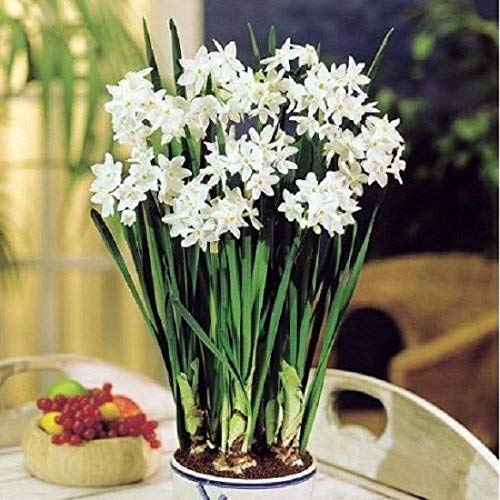 Paperwhite Narcissus Bulbs Indoor Growing Kit, 3 Bulbs with Ceramic ()