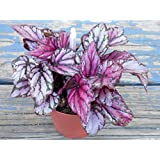 "Rex Begonia 'Hugh McLaughlin' Hybrid - Tropical Foliage Potted House Plant in 3.5"" Pot by Jordan's Jungle"