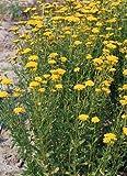 Hazzard's Seeds Achillea (Yarrow) ageratum Moonwalker 5,000 seeds