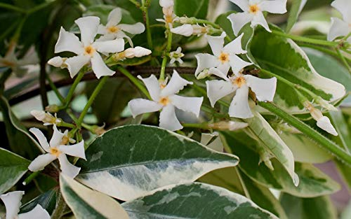 Confederate Jasmine Variegated - 30 Live Plants - Trachelospermum Jasminoides Variegatum - Fragrant Blooming Evergreen Vine by Florida Foliage (Image #4)