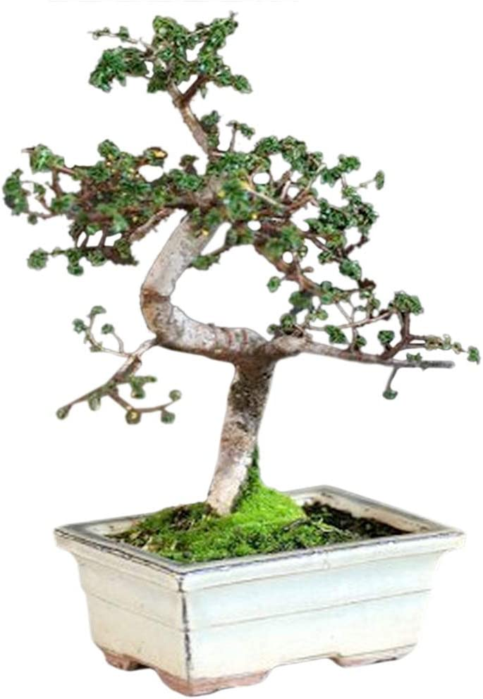 50 Corkscrew Willow Tree Fresh Cuttings 10-12inches each Free Shipping