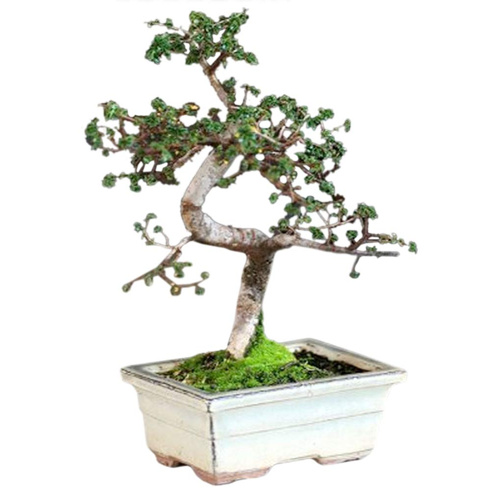 9GreenBox - 10 Year Old Chinese Elm Bonsai with 8'' Ceramic Vase by 9GreenBox