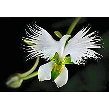 Amazon orchid insanity darling clementine exciting orange doveegret flower showyrare white5 seeds mightylinksfo