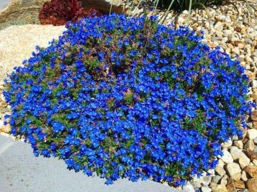 60+ Wonderland Blue Sweet Fragrant Alyssum/Perennial Flower Seeds ()
