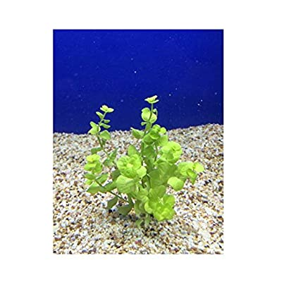 Live Fresh Water Aquatic Plant lysimachia nummularia 'Aurea' Bundle b129 Plants Tropical 1 pcs: Pet Supplies