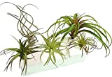 5 Artificial Tillandsia Air Plant Variety Pack for Terrarium Decorations Arrangements Hangers and Displays, 4 to 8 Inches Each