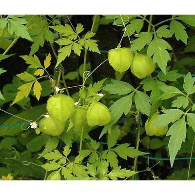 Balloon Vine Cardiospermum Halicacabum - 50 Bulk Seeds : Garden & Outdoor