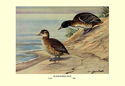 "Buyenlarge Black-Headed Duck - Gallery Wrapped 28""X42"" Canvas Print, 28"" X 42"""