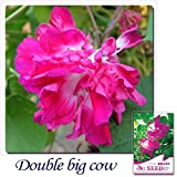 Mayan Seeds LLC Buy 2 Get 1!(Can accumulate ) 1 Pack 10 Seed Garden Flower Morning Glory Ipomoea Cairica Flower